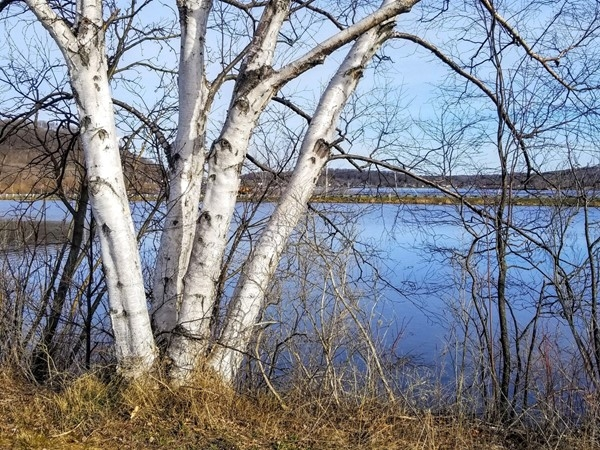 Beautiful birch by the Betsie River