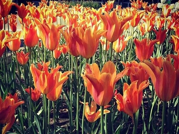 Holland is known for their beautiful tulips