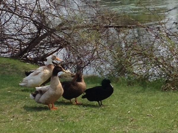 Ducks taking a break from the Mill Pond in downtown Brighton