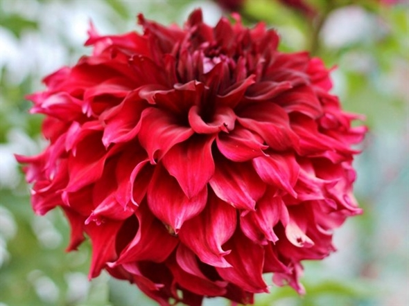 Awesome dahlias in Oriole Park are providing some great fall curb appeal in and around West Michigan
