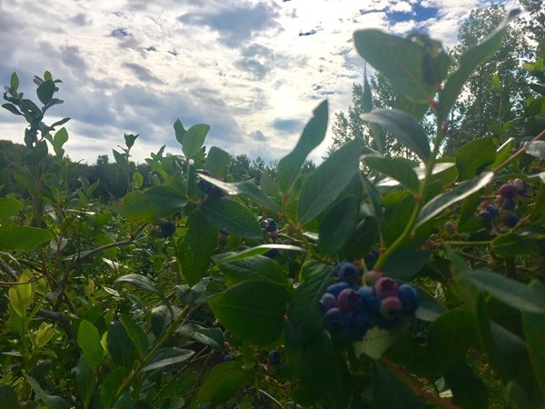 Buchan's Blueberry Hill is a great place to pick you own! Delicious berries, ice cream, and more