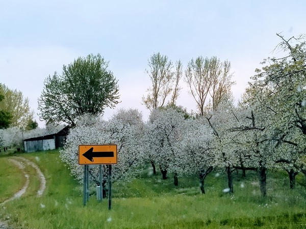 Cherry orchards in bloom