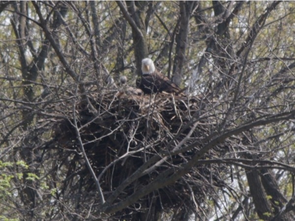 Bald Eagles are back and so is spring
