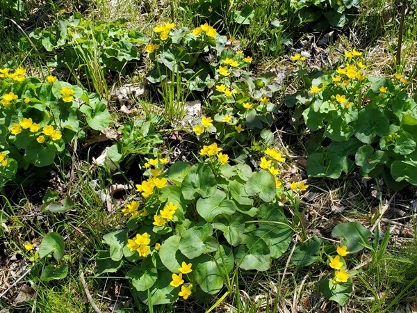 Marsh marigolds at Veterans State Park