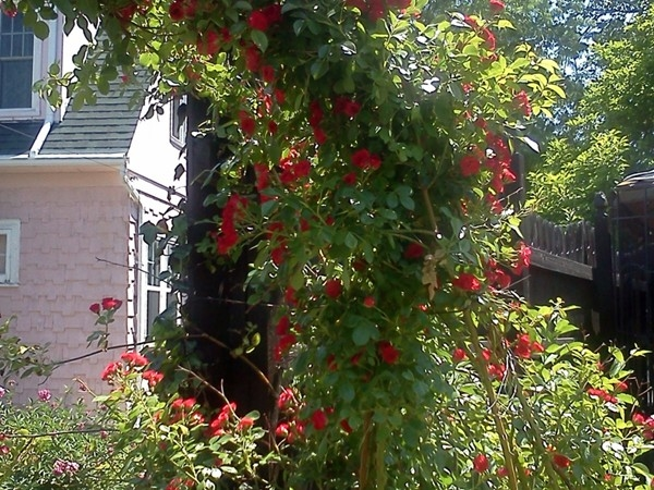 A lovely rose arch in Mott Park