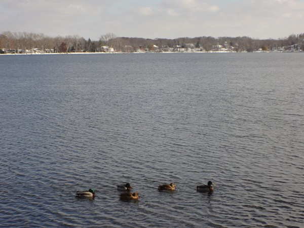 Ducks on Reeds Lake
