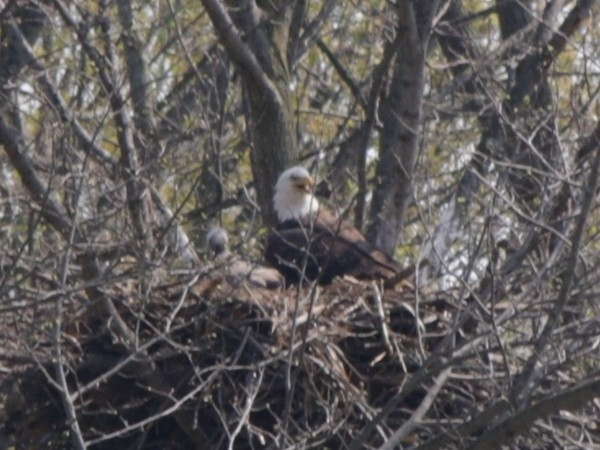 Eagles raising their young here in Caledonia