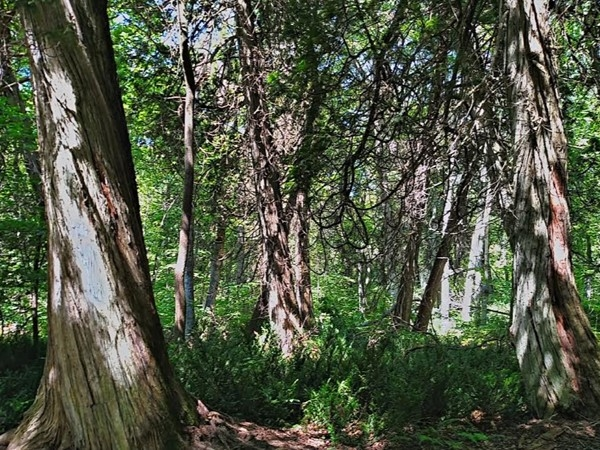 These giant cedar trees can be found on South Manitou Island. Catch the ferry from Leland