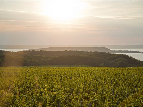 A view of the vineyards at Chateau Grand Traverse